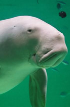 a-gentle-dugong-near-okinawa.jpg